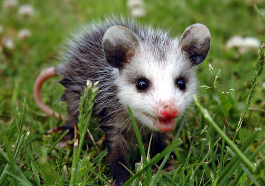 Smiling Possum A fast life and success that